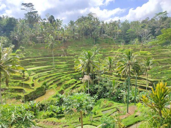 ubud-riceterrace15
